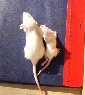 Rats born to mothers fed GM soy were smaller and had higher mortality than control group rats.