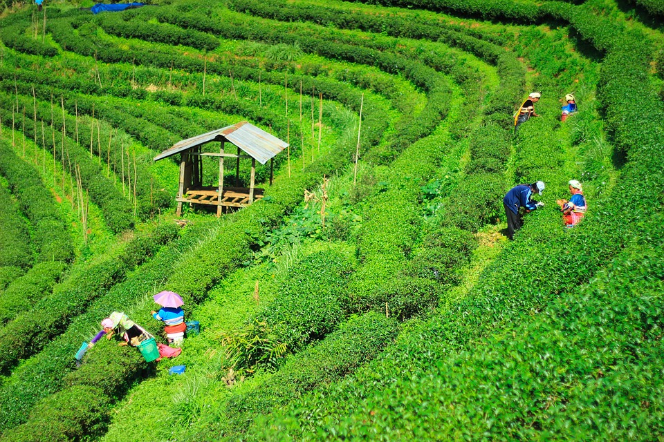 Green tea has been used medicinally for its antioxidant qualities and blood pressure control for hundreds of years.